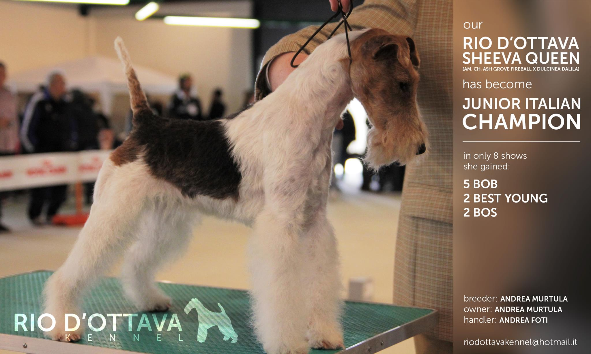 Rio d'Ottava Wire Fox Terriers by Andrea Murtula –  Int.CH Rio d'Ottava Sheeva Queen